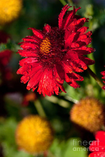 Photograph - Red Flower And Yellow Pom Poms by Cindy Singleton