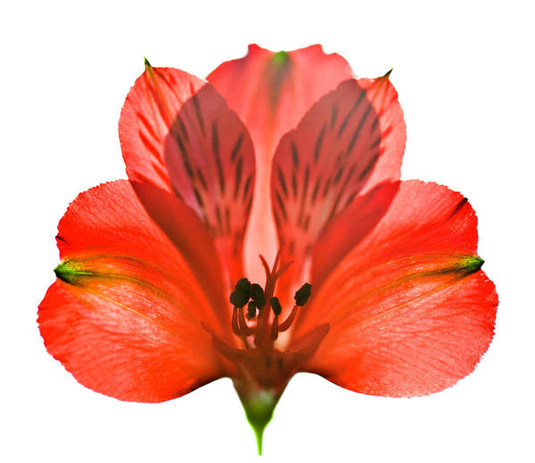 Alstroemeria Photograph - Red Flower by Jeja