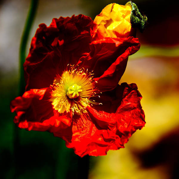 Photograph - Red Flower by Louis Dallara