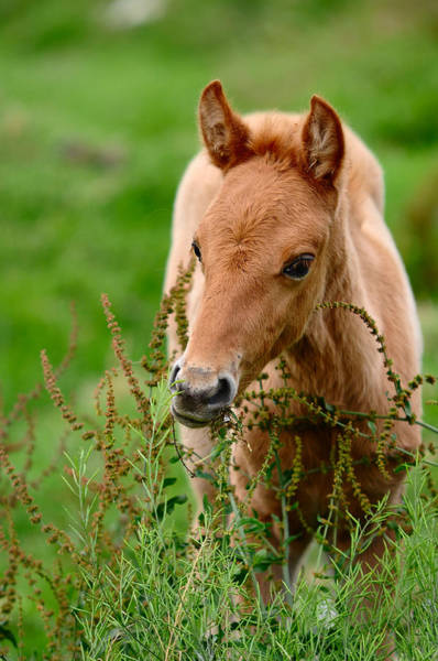 Foal Photograph - Red Foal. Beautiful Eyes by Jenny Rainbow
