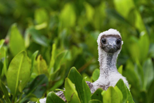 Red-footed Booby Sula Sula Chick Art Print