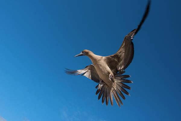 Ecuador Wall Art - Photograph - Red-footed Booby (sula Sula Websteri by Pete Oxford