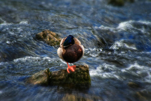 Photograph - Red Footed Duck - On The River Wye Waterfall - Bakewell Peak District - England by Doc Braham
