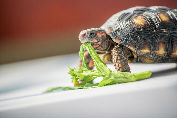 Tortoise Shell Photograph - Red-footed Tortoise Feeding by Pan Xunbin
