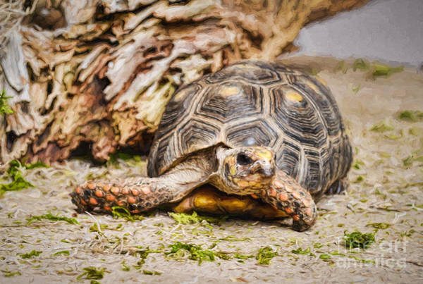 Photograph - Red Footed Tortoise - Painterly by Les Palenik