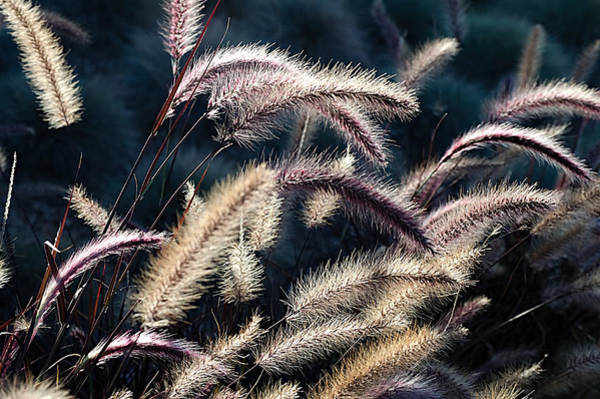 Pennisetum Photograph - Red Fountain Grass by See My  Photos