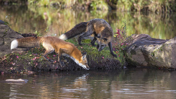Wall Art - Photograph - Red Fox And Cross Fox by Linda Arndt
