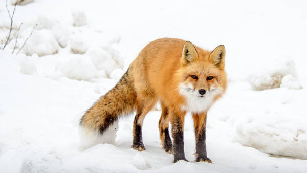 Photograph - Red Fox Looking At You by Roxy Hurtubise
