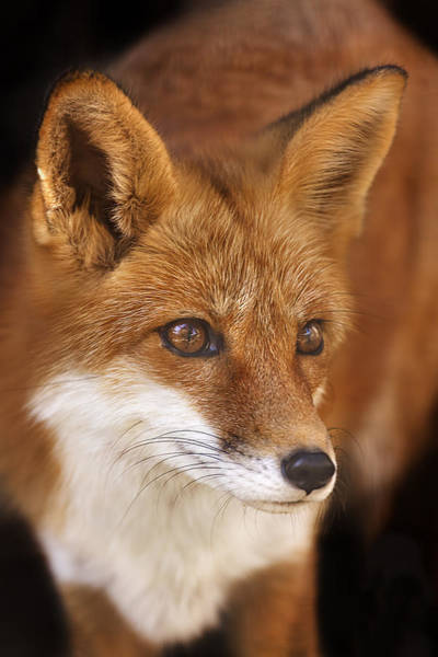 Photograph - Red Fox  by Brian Cross