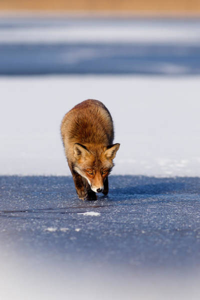 Flake Photograph - Red Fox Crossing A Frozen Lake by Roeselien Raimond