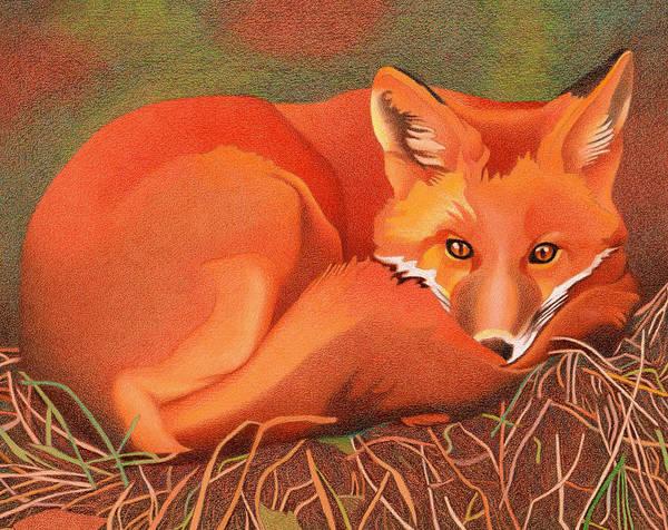 Drawing - Red Fox by Dan Miller