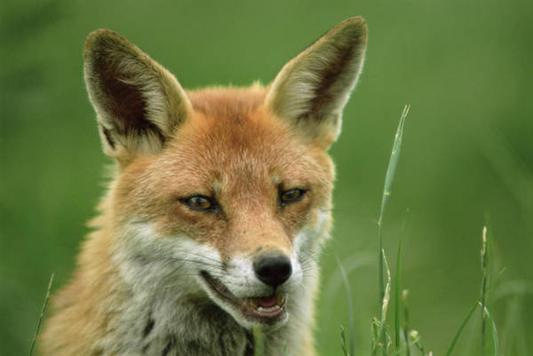 Red Fox Art Print by Duncan Shaw/science Photo Library
