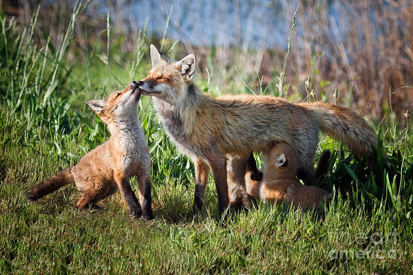 Photograph - Red Fox Family by Ronald Lutz