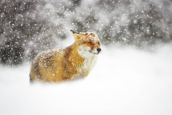 Weathered Photograph - Red Fox In A Heavy Snowstorm by Pim Leijen