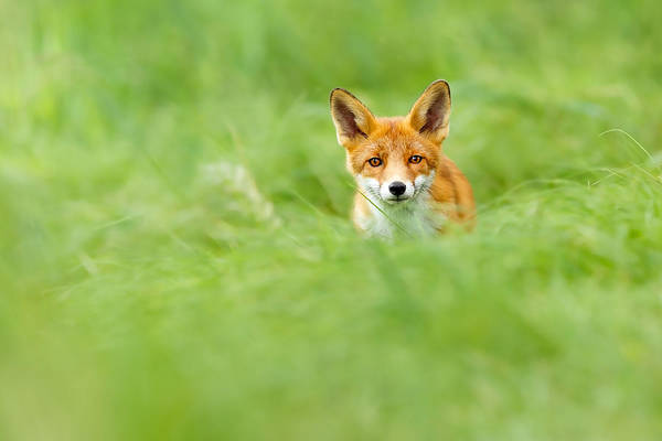 Kit Fox Photograph - Red Fox In A Sea Of Green by Roeselien Raimond
