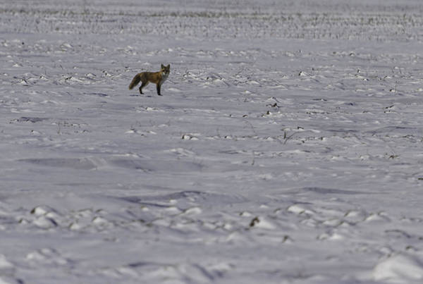 Photograph - Red Fox In A Winter Setting by Thomas Young