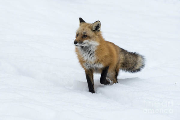 Photograph - Red Fox In Deep Snow by Dan Friend