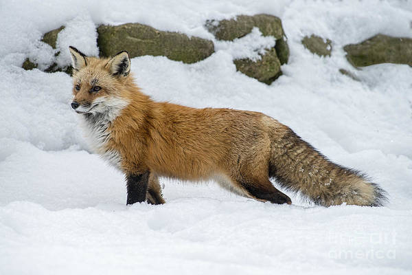 Photograph - Red Fox In The Snow by Dan Friend