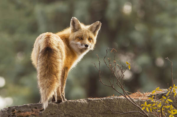 Wall Art - Photograph - Red Fox In The Sunset by Mircea Costina Photography