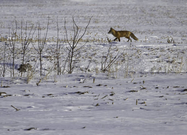 Photograph - Red Fox In Winter  by Thomas Young