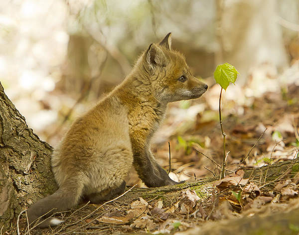 Photograph - Red Fox Kit In A Quiet Moment by John Vose