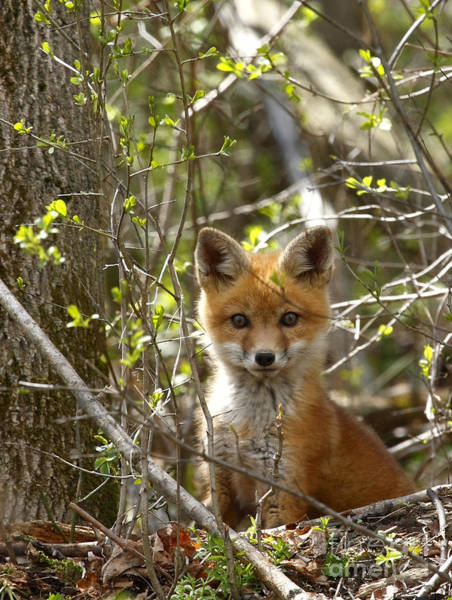 Woodlot Photograph - Red Fox Kit by Roger Bailey