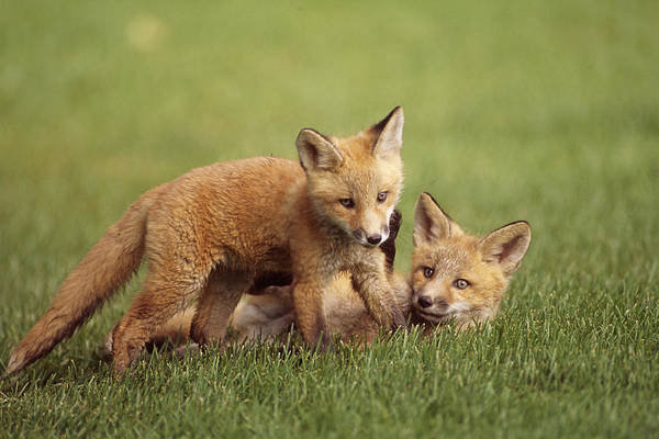 Elmendorf Photograph - Red Fox Kits Playing Together On Golf by Doug Lindstrand
