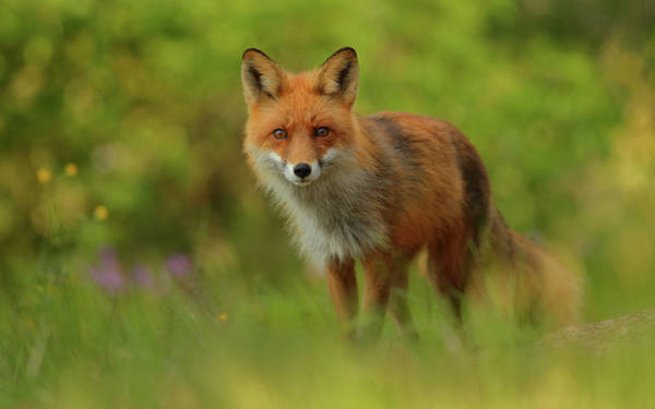 Wild Grass Photograph - Red Fox Lady by Assaf Gavra