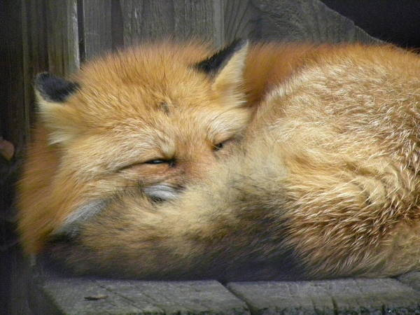 Photograph - Red Fox by Peggy  McDonald