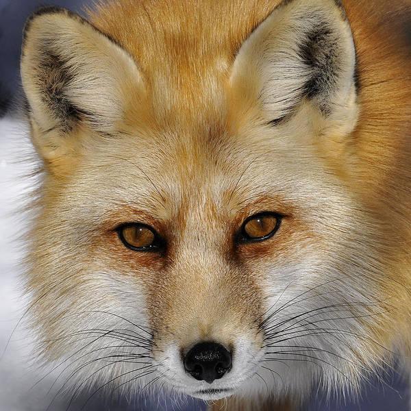 Red Fox Portrait Art Print