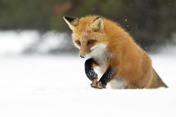 Canadian Fauna Photograph - Red Fox Pouncing In Snow by Dr P. Marazzi/science Photo Library