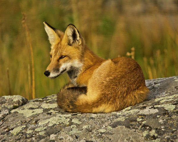 Canine Photograph - Red Fox, Resting, Rock, Lamar Valley by Michel Hersen