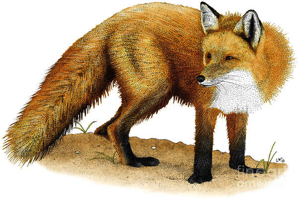 Photograph - Red Fox by Roger Hall
