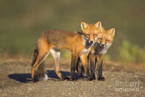 Wall Art - Photograph - Red Fox Siblings In Denali  by Yva Momatiuk John Eastcott