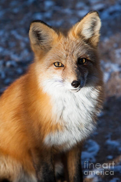 Photograph - Red Fox Standing by John Wadleigh