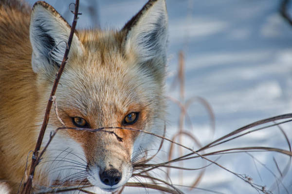 Photograph - Red Fox Stare by Beth Sawickie