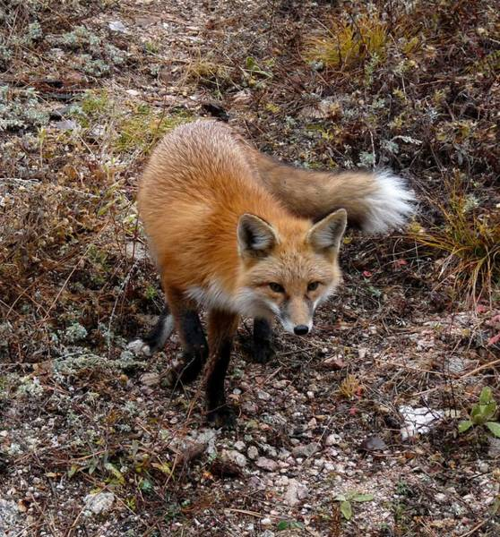 Photograph - Red Fox by Tranquil Light  Photography
