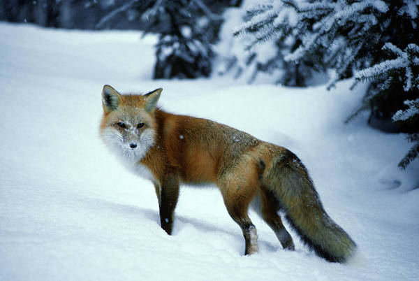 Wall Art - Photograph - Red Fox Vulpes Vulpes In Winter Snow by Animal Images