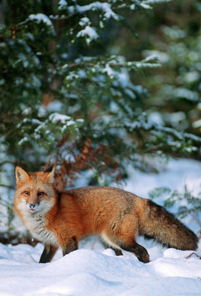 Cold Day Photograph - Red Fox (vulpes Vulpes by Richard and Susan Day