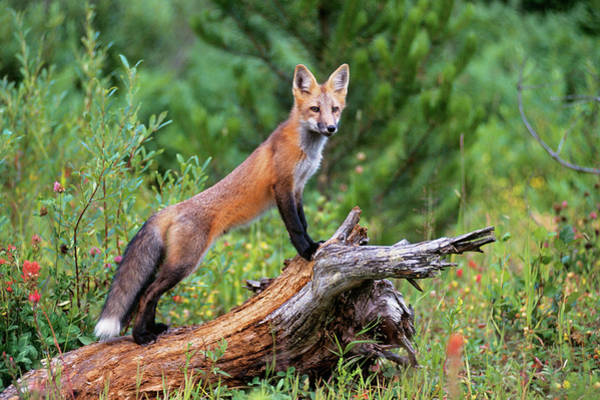 Wall Art - Photograph - Red Fox Vulpes Vulpes Standing by Animal Images