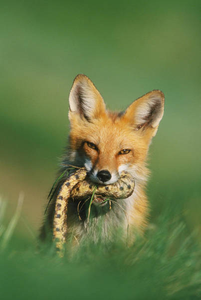 Photograph - Red Fox With Snake by D Robert Franz