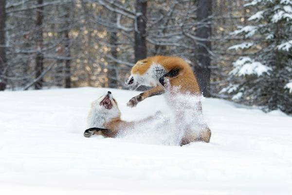 Canadian Fauna Photograph - Red Foxes Interacting In Snow by Dr P. Marazzi/science Photo Library