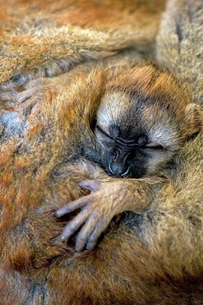Lemur Photograph - Red-fronted Lemur Baby by Tony Camacho/science Photo Library
