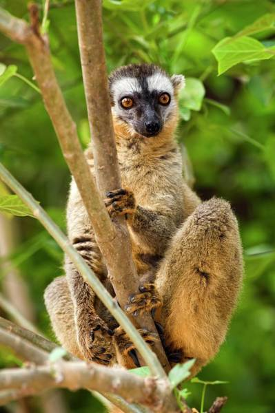 Lemur Photograph - Red-fronted Lemur by Tony Camacho/science Photo Library