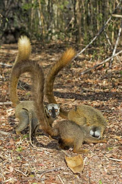 Lemur Wall Art - Photograph - Red-fronted Lemurs Foraging by Tony Camacho/science Photo Library