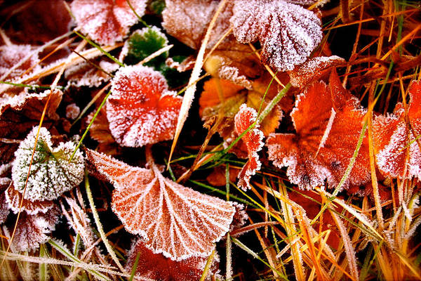 Photograph - Red Frost by HweeYen Ong