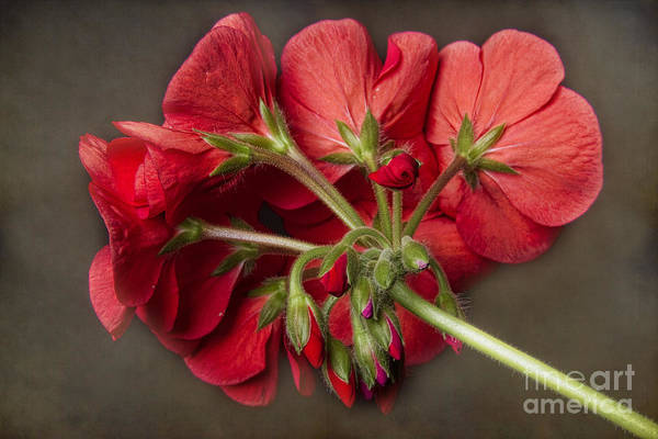 Photograph - Red Geranium In Progress by James BO Insogna