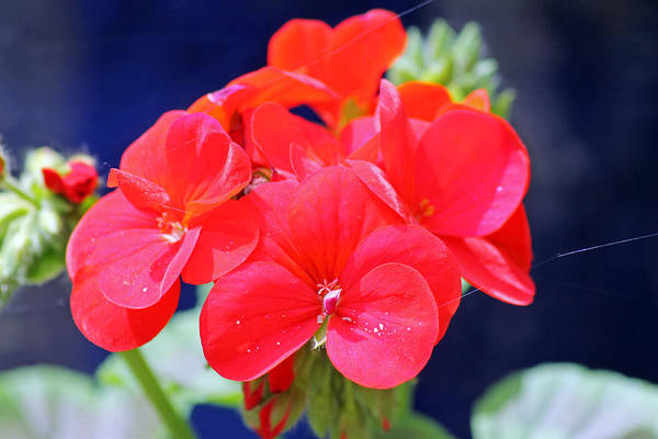 Photograph - Red Geranium by Tony Murtagh