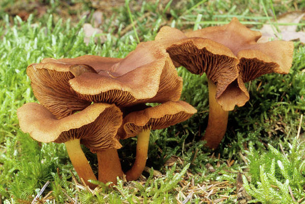 Gill Photograph - Red-gilled Web Cap Fungi by John Wright/science Photo Library