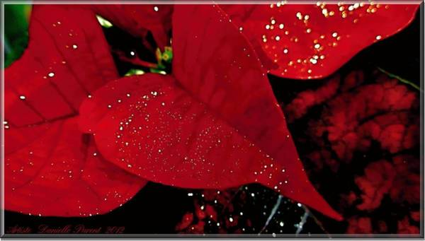 Photograph - Red Glittered Poinsettias by Danielle  Parent